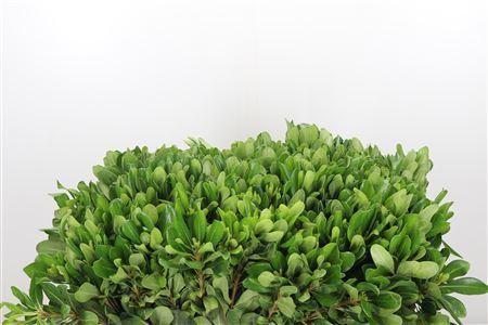 Dec Stem Pittosporum Green