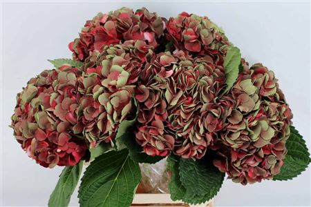 Hydrangea Imp Burgundy Amath Tinted