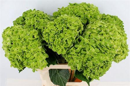 Hydrangea Imp Clover Green