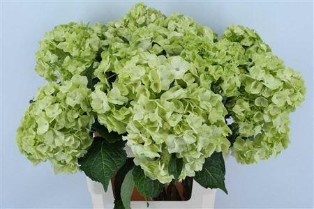 Hydrangea Imp Green Lemon