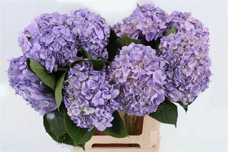 Hydrangea Imp Lavendel