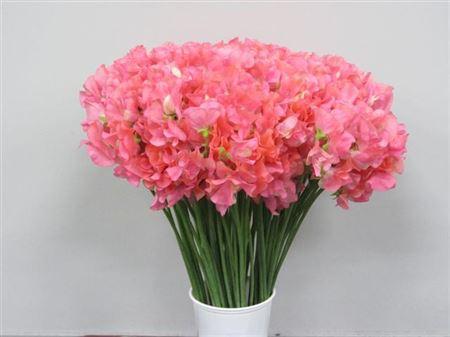 Lathyr Odor Pink