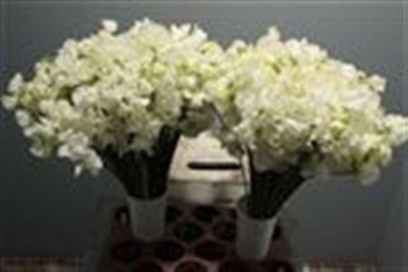 Lathyr Odor White