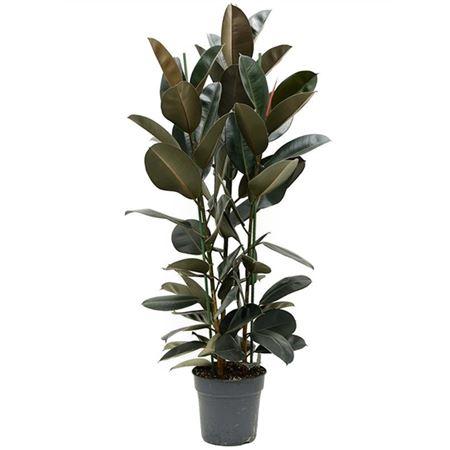 Ficus El Abidjan