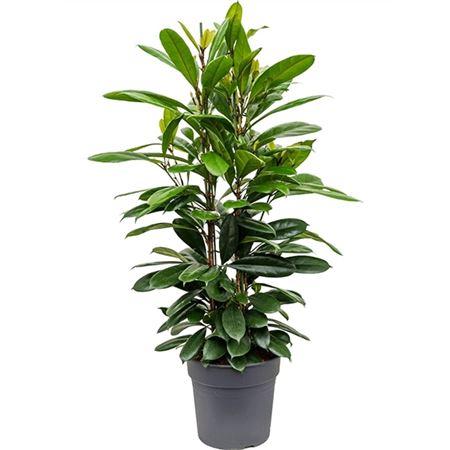 Ficus Cyathistipula 3pp