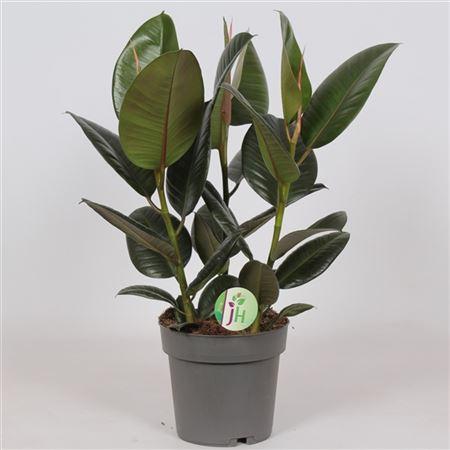 Ficus El Robusta 3pp