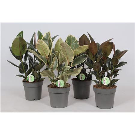 Ficus El Mix 3pp
