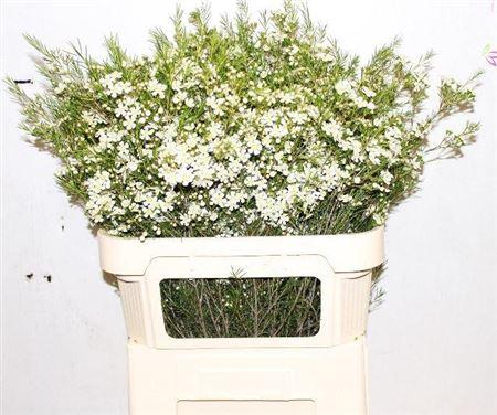 Waxflower Ofir White