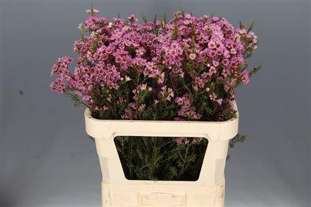 Waxflower Adi Pink