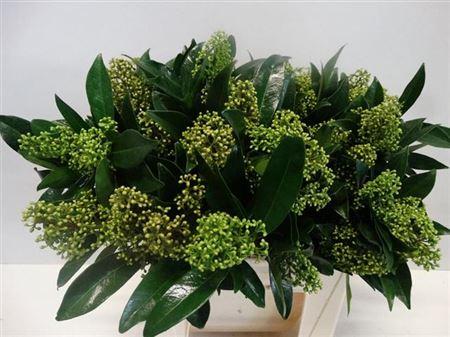 Skimmia Green