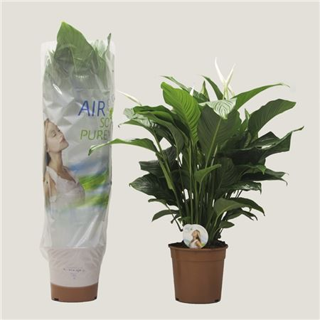 Spath Sweet Lauretta Air So Pure 2+