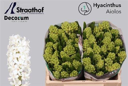 Hyac Aiolos Decorum
