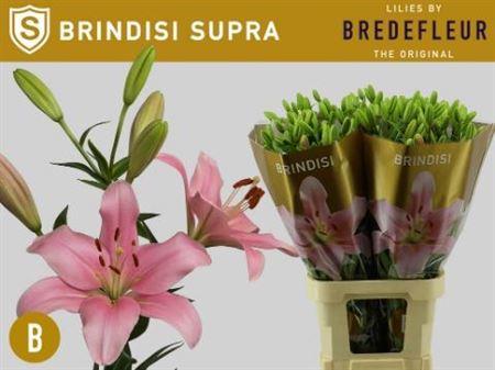 Li La Brindisi 5+ Supra