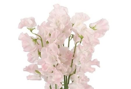 Lathyr Light Pink