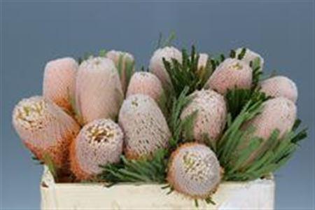 Banksia Hookerana