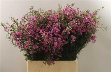 Waxflower Eden