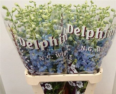 Delph El Dewi Boy Blue