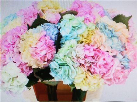 Hydrangea Imp Rainbow Painted