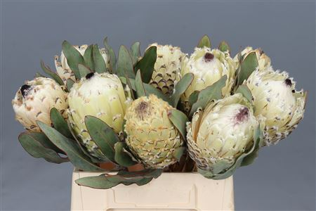 Protea Barbigera Ice Queen