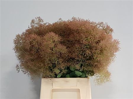 Cotinus Young Lady/pruik