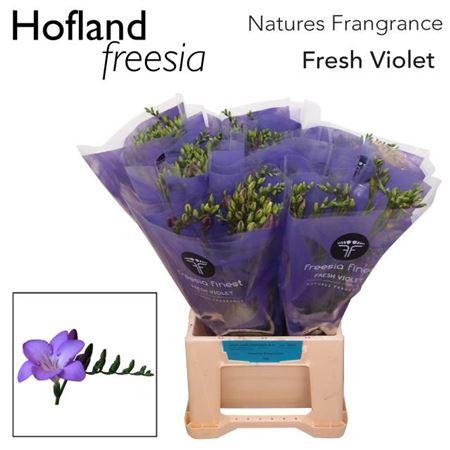 Fr En Finest Fresh Violet