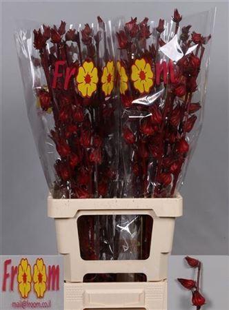 Hibiscus Tr Eden Red