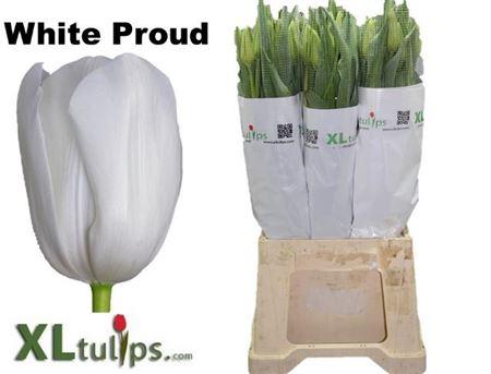Tu French En White Proud