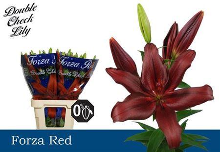 Li La Forza Red 4+