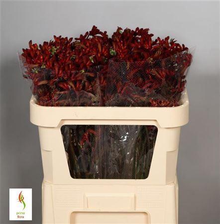 Anigoz Early Spring Red