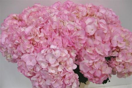 Hydrangea Imp Therese D Pink Painted