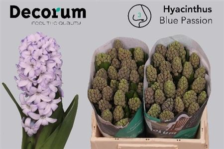 Hyac Blue Passion Decorum