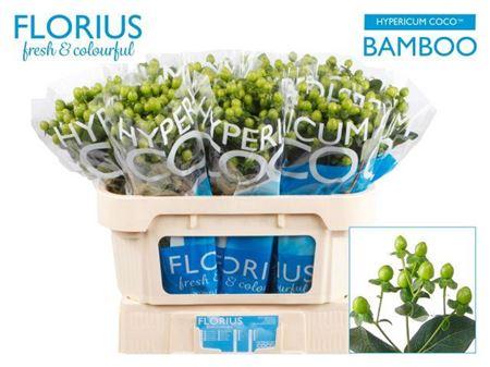 Hyper Coco Bamboo Green