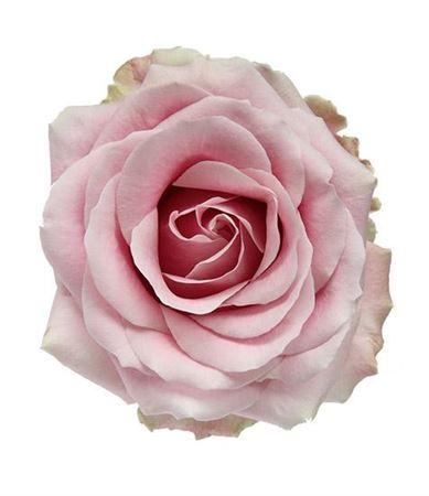 R Gr Avalanche Pink?+