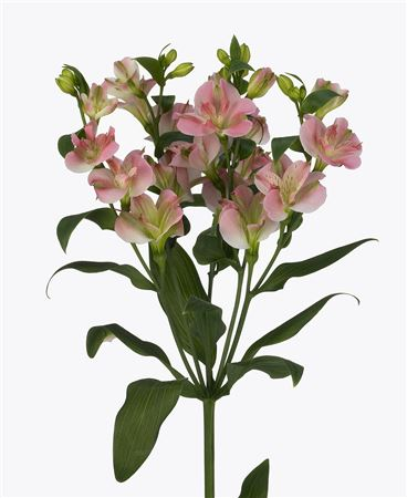 Alstr Flor Charm Pink 60cm
