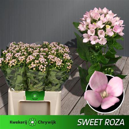 Bou En Sweet Roza L.Pink