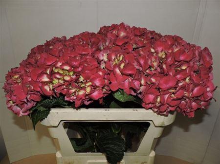 Hydrangea Imp Trophy Red
