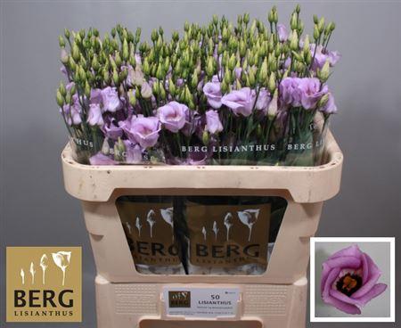 Eust E Piccolo Lavender