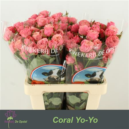 R Tr Coral Yo-yo