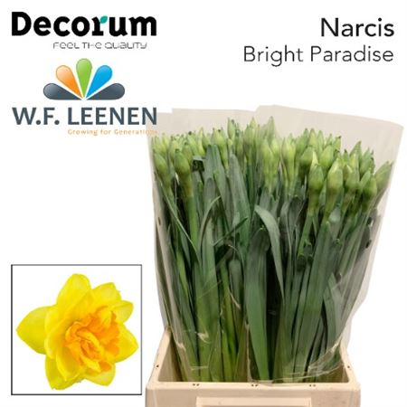 Narc Bright Paradise Decorum